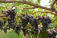 Close up of grapes on vine in vineyard