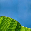 Closeup texture and detail of banana foliage with blue sky