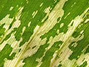 Closeup texture surface leaf of Dumb caneDieffenbachia sp.