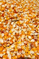 Background of yellow maize corn kernels ready for making popcorn