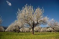 Almond blossom, Prunus dulcis, S´ Esglaieta, Majorca, Balearic Islands, Spain