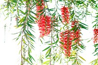 Red bottle brush tree flower branch isolate