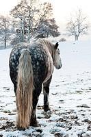 Dapple grey horse in snowy winter setting
