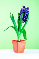 decorative hyacinth blossom in pot on green backgroun