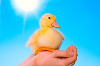 Duckling in human hands on blue sky background