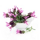 Lavender herb flower and leaf sprigs in a porcelain mortar with pestle isolated over white background. Lavandula.