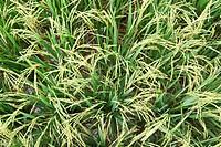 The green rice field in Thailand ,chiangrai