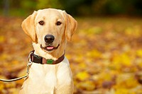 Young Labrador Retriever in a fall park