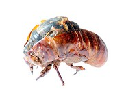 insect cicada in molt eclosion isolated