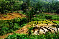 South Asian rice field terraces on Sri LAnka