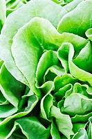 Close_up view of fresh green leaves of lettuce