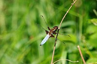Broad_bodied Chaser Libellula depressa _ male on a branch