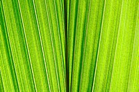 green leaf texture from the palm tree
