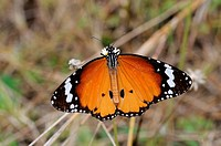 tawny coaster butterfly