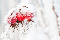 Rose hips covered with snow