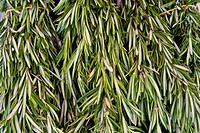Closeup of rosemary stems and leaves on display in a market
