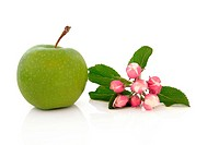 Apple with flower blossom leaf sprig isolated over white background. Granny Smith variety.
