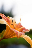 A colorful tiger lily back lit by the low sun.