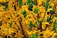 A forsythia shrub in full bloom in spring