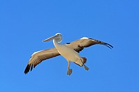 An Australian Pelican, Pelecanus conspicillatus, in flight with a blue sky background  This bird is preparing to land and has dropped his webbed feet ...