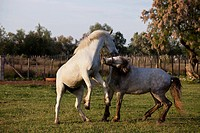 Two horses playing in a fenced
