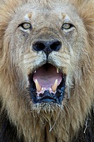 Close-up, male lion panting, looking at camera (thumbnail)