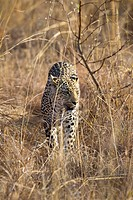 A leopard stalking through grass