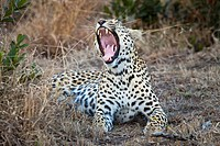 A female leopard yawning