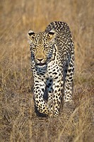 A leopard walking through grass (thumbnail)