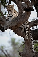 A leopard lying in the branches of a bare tree