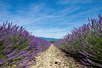 Cultivated lavender growing in a field (thumbnail)