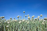 Field of garlic, low angle view, close-up (thumbnail)