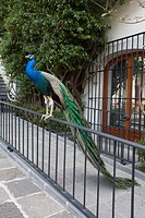 A peacock perched on a railing