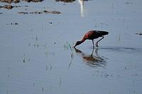 Glossy Ibis preying in his natural habitat