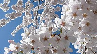 Apple blossoms against blue sky (thumbnail)