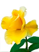 Sweet beautiful yellow rose on white blackground