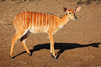 Female Nyala antelope Tragelaphus angasii, Mkuze game reserve, South Africa