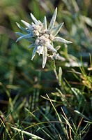 Edelweiss flower in Gorkhi_Terelji National Park, Mongolia