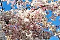 pink cherry tree flowers against a blue sky