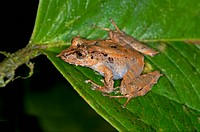 Long-snouted Robber Frog (Pristimantis appendicularis), Tandayapa region, Pichincha, Andean Cloud Forest, Ecuador, South America