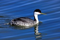 Western Grebe (Aechmophorus occidentalis), adult, swiming, Monterey, California, USA