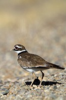 Kildeer on a gravel road