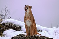 Cougar or Puma Puma concolor, Felis concolor, adult, with mouth open, snow, Montana, USA