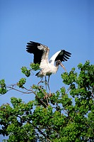 Wood stork Mycteria americana, adult on tree, spreading wings, Florida, USA