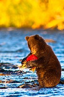Young Brown bear cub standing on hind legs catches its first salmon in Russian River, Kenai Peninsula, Southcentral Alaska, Autumn