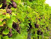 culture of vines and grapes
