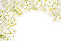 Branch of bird cherry on a white background