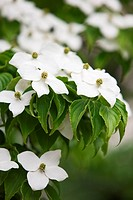 White Kousa Dogwood flowers, Cornus Kousa, Japanese Flowering Dogwood, in a spring park, close_up