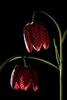 Snake's head fritillary, Checkered daffodil, Chess flower Fritillaria meleagris, flowers, poisonous plant, Germany, Europe