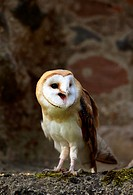 Barn owl (Tyto alba), adult, calling, Germany, Europe